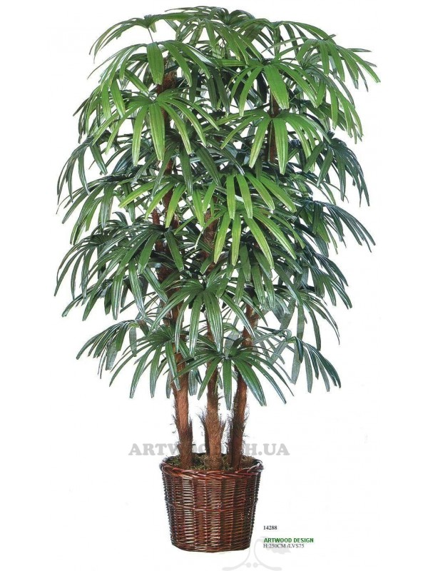 Веерная пальма рапис