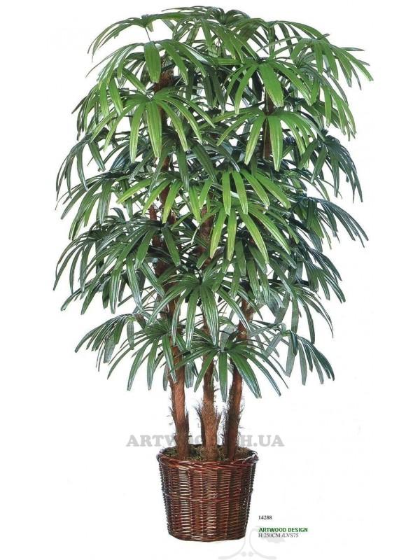 Віялова пальма  рапіс